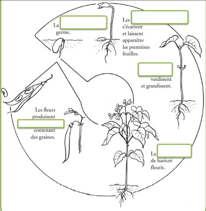 4 La Reproduction Des Plantes A Fleurs